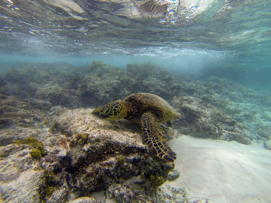 Kona Photographer, Honu